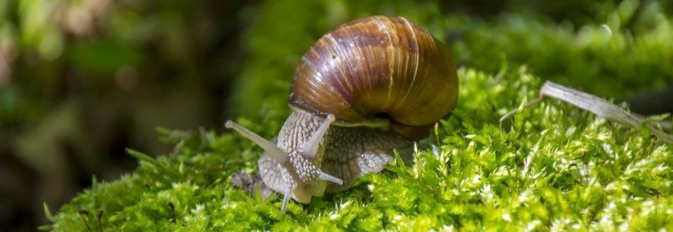 south american snail
