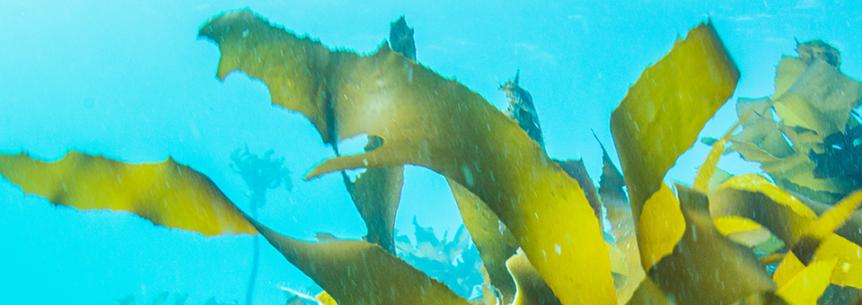 seaweed-862x305